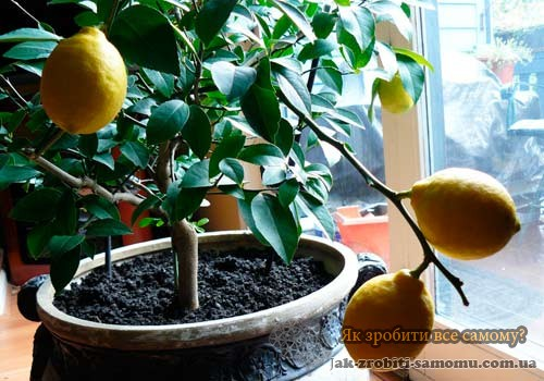 Як виростити лимон?