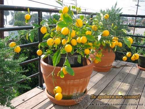 Лимон з черенця