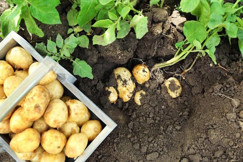 Как разводят на привозной картошке? Мужичок с картошкой и башмаком.
