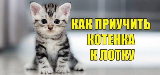 Як привчити кошеня до лотка?